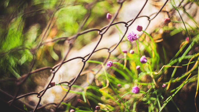 Flowers reaching through a chain-wire fence